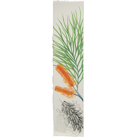 Grevillia pteridifolia, watercolour and graphite on paper by Jasmine Jan