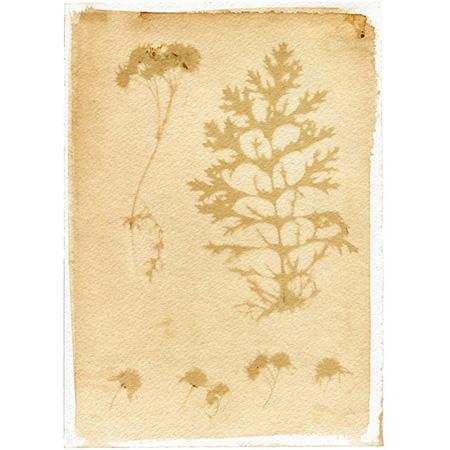 Buachalánbuí – my weed, your daisy, anthotype on watercolour paper