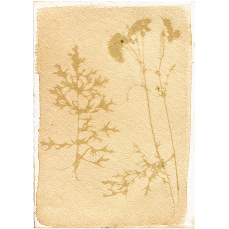 Buachalánbuí – your daisy, my weed, anthotype on watercolour paper