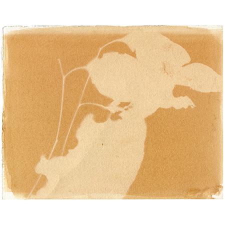 Eucalyptus shadow IV, anthotype on watercolour paper