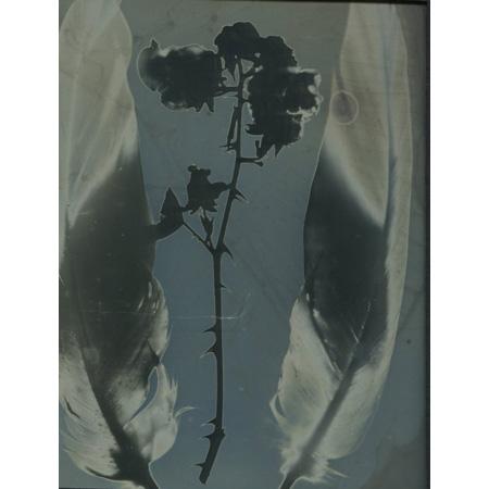 Suspended II, feather and blackberry daguerreotype photogram