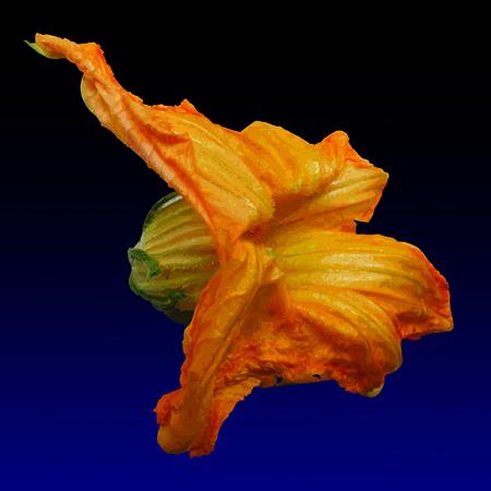 Ciuru di cucuzza - Pumpkin flower, limited edition digital print