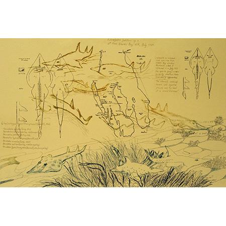 Glaucostegus typus (Anonymous [Bennett], 1830) Giant shovelnose ray